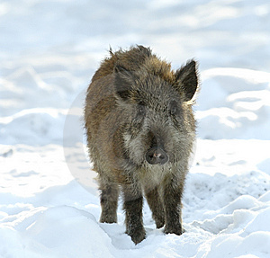 Baby Of Wild Boar Stock Images - Image: 5529294