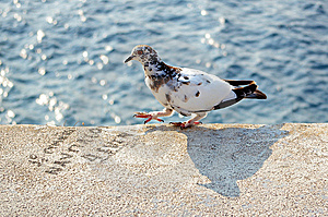 Walking Pigeon Royalty Free Stock Photos - Image: 5531348