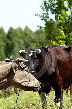Cows Royalty Free Stock Image - Image: 5536656