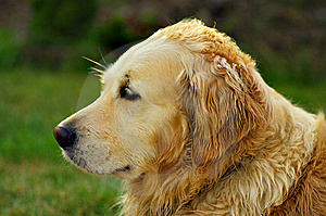 Golden Retriever Dog Royalty Free Stock Photos - Image: 5542758