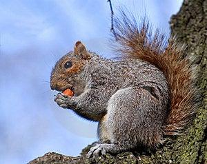 Squirrel Tries To Bite In Hazel-nut Stock Photos - Image: 5548833