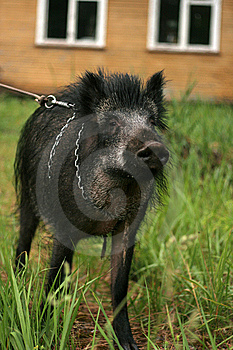 Wild Boar Royalty Free Stock Images - Image: 5549109