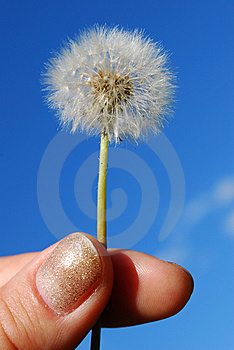 Dandelion In The Hand Stock Images - Image: 5550184