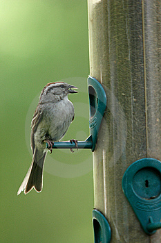 A Small Sparrow With A Seed In Its Beak. Royalty Free Stock Photo - Image: 5559425
