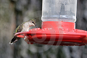 A Hummingbird Sits On A Feeder. Royalty Free Stock Photo - Image: 5559815