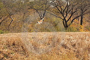 Springing Impala Royalty Free Stock Photo - Image: 5566925