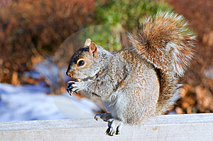 Squirrel And The Crust Of Loaf Stock Image - Image: 5587231