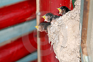 Swallow Royalty Free Stock Images - Image: 5588369