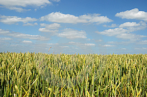 Close Up Of Golden Corn In A Field Royalty Free Stock Photography - Image: 5591867