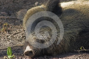 Wild Boar Stock Images - Image: 560614