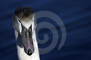 Swan Royalty Free Stock Photo - Image: 562935