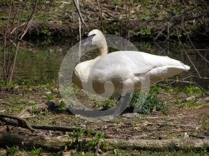 Swan Stock Photography - Image: 567612