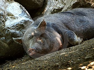 Pig In Relax Stock Photo - Image: 5600460