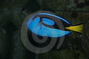 Surgeonfish Royalty Free Stock Photos - Image: 5603378