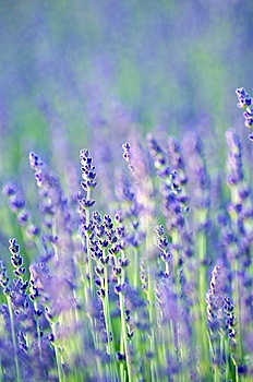 Lavender in Bloom Stock Images