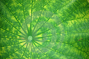 Vein Of Lotus Leaf Royalty Free Stock Images - Image: 5611209