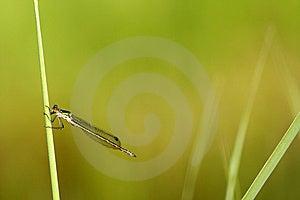 Dragonfly Lestes Viridis Stock Image - Image: 5616001