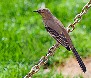 Birdie Sitting On A Chain Royalty Free Stock Photography - Image: 5616647