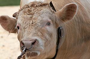 Angry Bull Royalty Free Stock Image - Image: 5616746