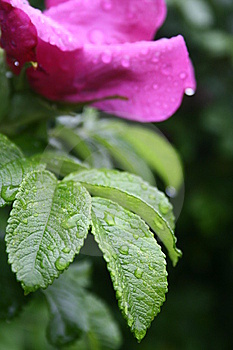 Raindrops On The Flower Royalty Free Stock Images - Image: 5617719