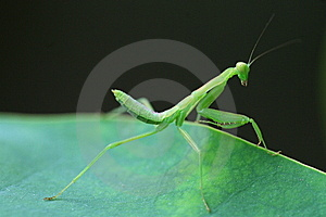 Mantis Royalty Free Stock Photography - Image: 5622447