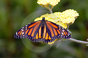 Monarch Butterfly Royalty Free Stock Photo - Image: 5623675