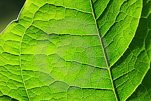 Leaf Detail Royalty Free Stock Photo - Image: 5627905