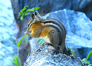 Squirrel Royalty Free Stock Images - Image: 5629439