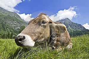 Cow Royalty Free Stock Images - Image: 5638449
