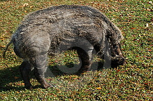 Boar Stock Image - Image: 5639121
