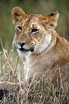 Lion Cub Lying In The Grass Royalty Free Stock Photos - Image: 5642518