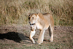 Lioness Walking Through The Grass Stock Photography - Image: 5642552
