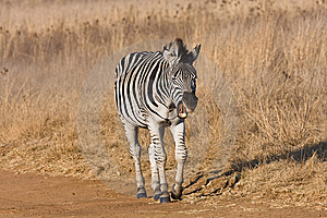 Zebra Yawning In The Road Royalty Free Stock Photography - Image: 5642847