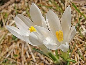 White Crocuses Royalty Free Stock Photography - Image: 5646697