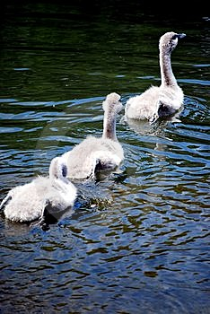 Three Signets Swimming Stock Image - Image: 5648231