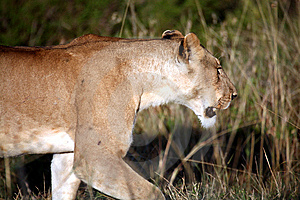 Lioness Walking Through The Grass Royalty Free Stock Photos - Image: 5651198