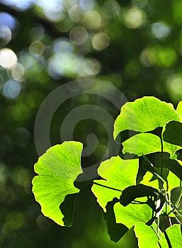 Kingkgo Leaf Royalty Free Stock Photo - Image: 5660885