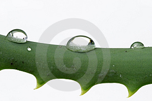 Water Drops On Aloe Stock Images - Image: 5661884