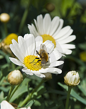 Two Daisies With A Small Bee Royalty Free Stock Photography - Image: 5663837