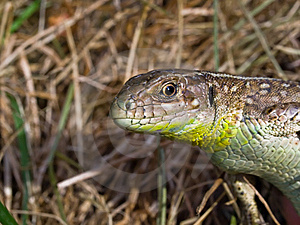 Lizard Stock Images - Image: 5676164