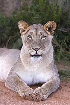 Cheeky Lioness Stock Photo - Image: 5682330