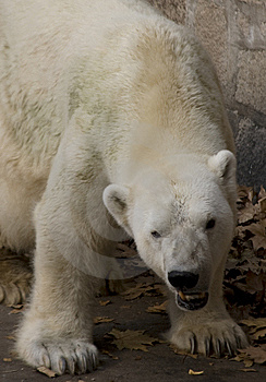 Polar Bear Stock Photo - Image: 5682510