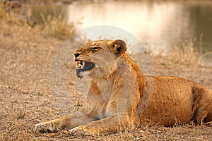 Lioness In Sabi Sands Royalty Free Stock Images - Image: 5687119