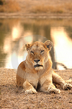 Lioness In Sabi Sands Stock Image - Image: 5687221