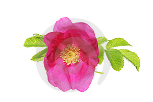 Magenta Rose Stock Photos - Image: 5687293