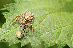 Spider With Prey Royalty Free Stock Image - Image: 5688316