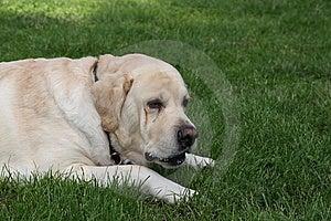Sad Dog Royalty Free Stock Photo - Image: 5690875