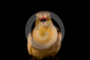 Yellow Cockatiel Attack Royalty Free Stock Photo - Image: 574335