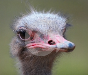 Ostrich Head Royalty Free Stock Images - Image: 574999