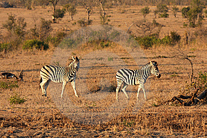 Zebra In Sabi Sands Stock Photo - Image: 5701150